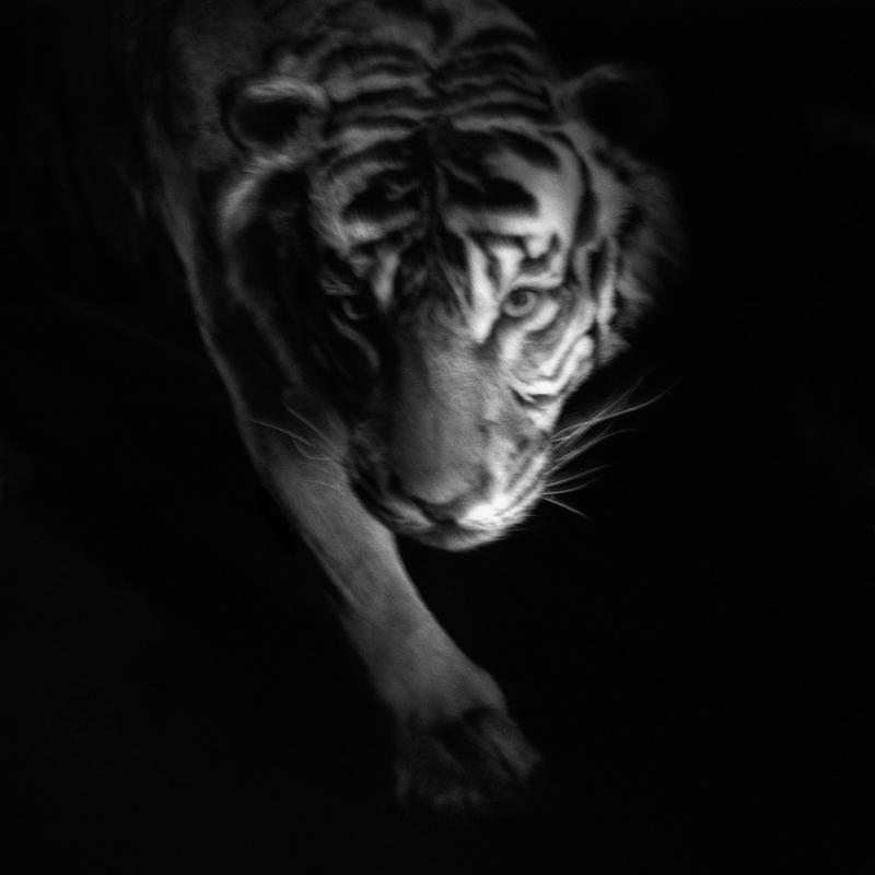 Sumatran tiger. Endangered.  Intense poaching has greatly reduced its numbers. Only a few hundred individuals remain. Tigre de Sumatra. En danger.  Le braconnage intense a considérablement réduite ses effectifs. Il ne reste plus que quelques centaines d'individus.