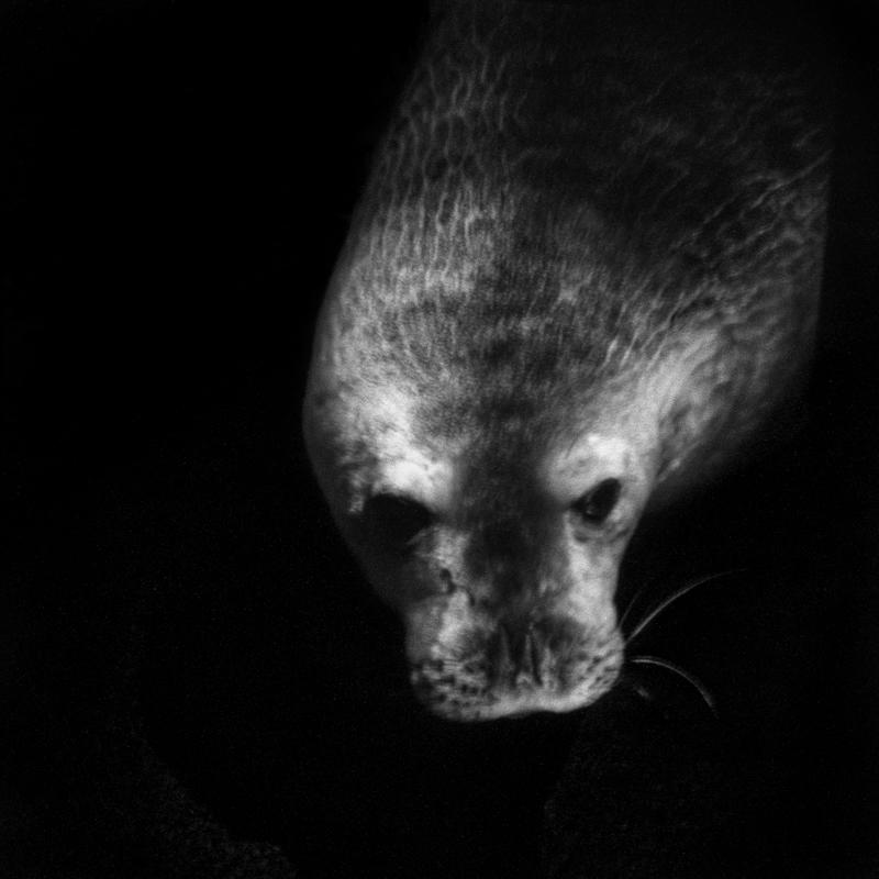 Weddell seal. It lives on the continent and the waters of Antarctica. It was the victim of a subsistence hunt to feed the men and dogs of the early exploration expeditions but which did not threaten the species.  Phoque de Weddell. Il vit sur le continent et les eaux de l'Antarctique. Il a été victime d'une chasse de subsistance pour nourrir les hommes et les chiens des premières expéditions d'exploration mais qui n'a pas menacé l'espèce.