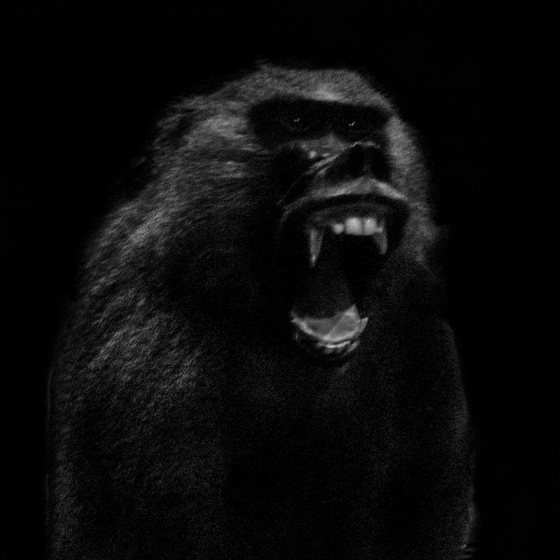 Babouin. Chassé, braconné, le Drill et le Babouin de Guinée sont très menacés de disparition. Baboon. Hunted and poached, the Drill and the Guinea Baboon are highly endangered.