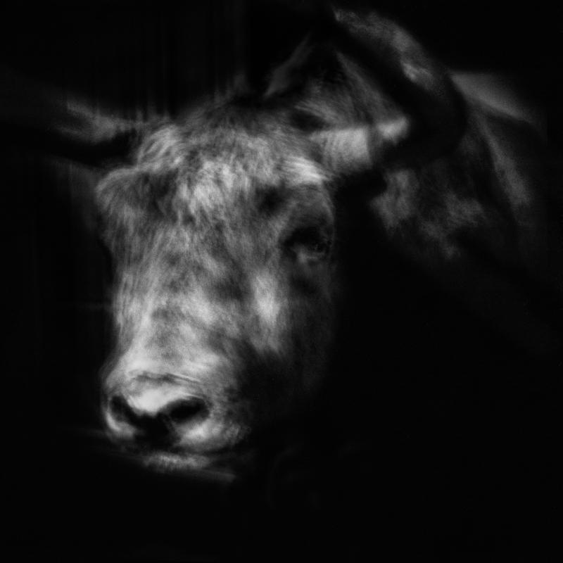 The Yak was domesticated 4500 years ago in Tibet. The wild Yak is threatened with extinction. Le Yak a été domestiqué il y a 4500 ans au Tibet. Le Yak sauvage est menacé de disparition.