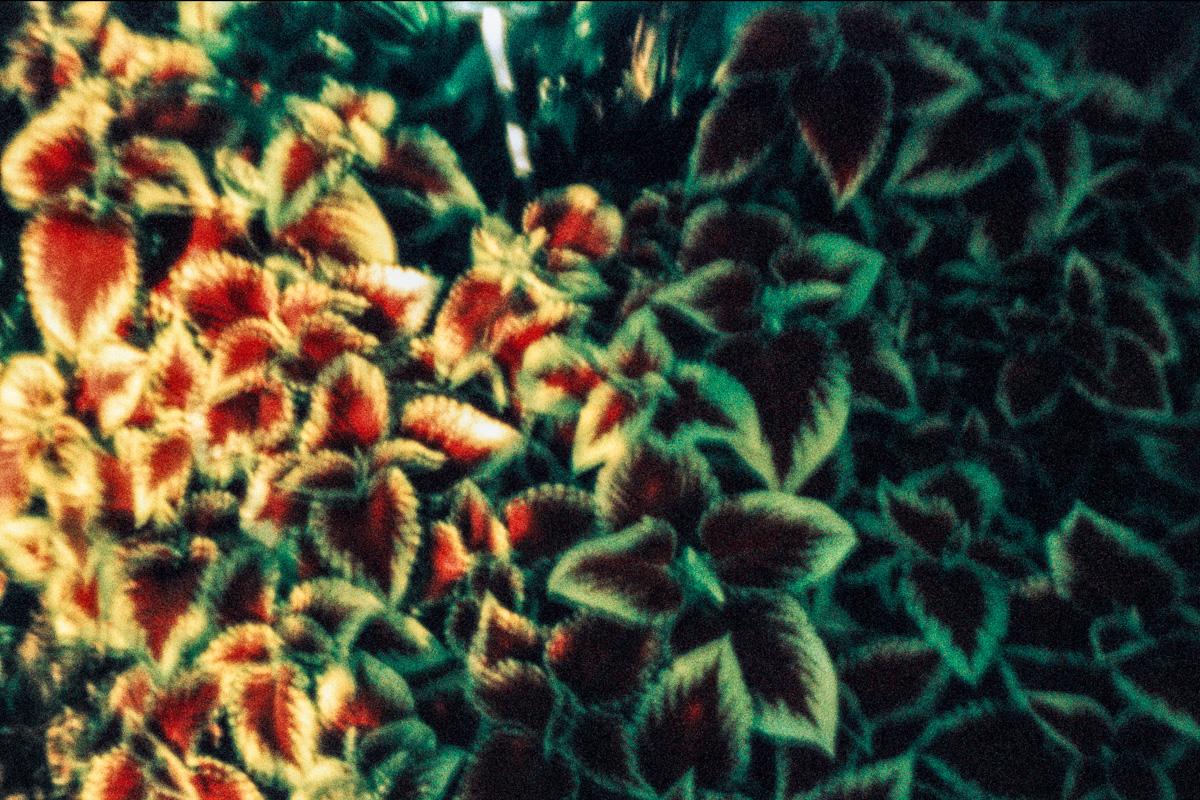 Coleus Blum. Jardin des plantes.