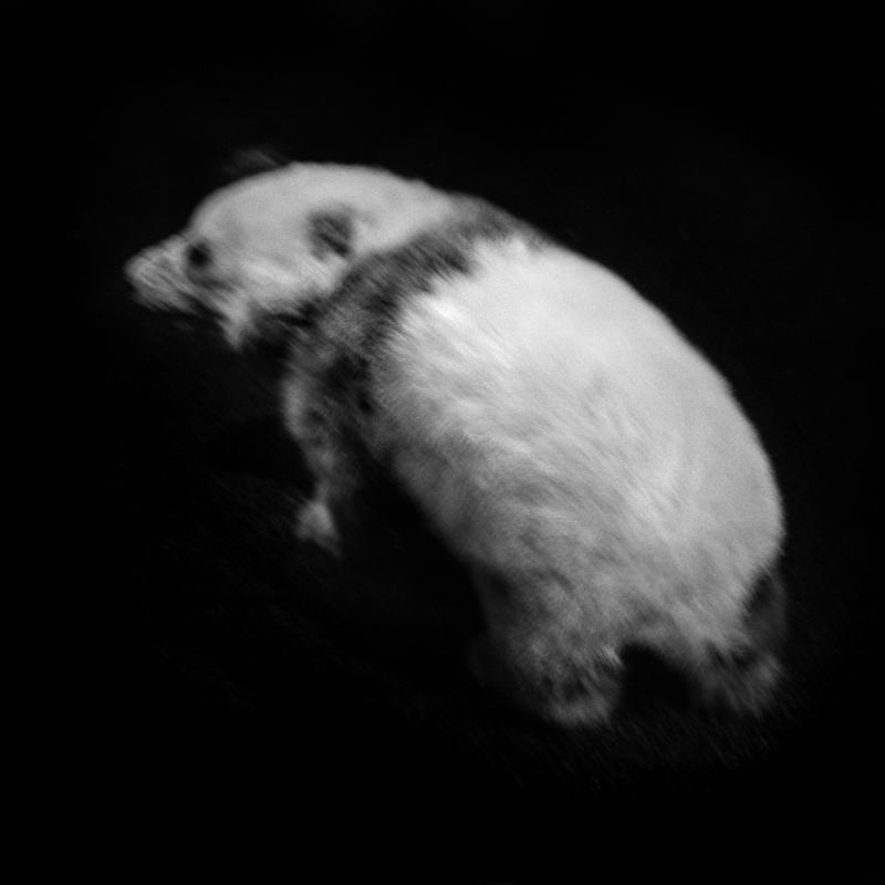 Baby giant Panda from China. There are reportedly less than 2000 individuals living in Sichuan Nature Reserves and National Parks and in captivity in zoos outside China. Giant Pandas eat mainly bamboo in large quantities. The availability of these plants and the reduction of forests limit the number of Pandas in the wild. Bébé Panda géant de Chine. Il y aurait moins de 2000 individus vivants dans les réserves naturelles et parcs nationaux du Sichuan et en captivité dans les zoos hors de la Chine. Les Pandas géants mangent essentiellement des bambous en grande quantité. La disponibilité de ces végétaux et la réduction des forêts limitent le nombre de Pandas dans la nature.