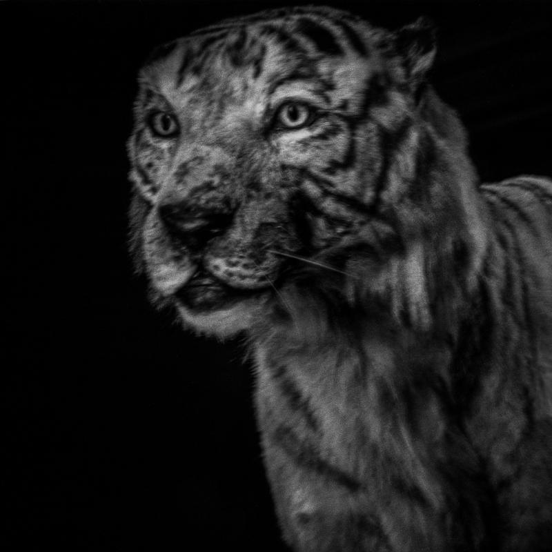Chinese tiger. Endangered. That tiger is dying out. The rainforest where it lives has almost completely disappeared due to human overpopulation. Tigre de Chine. En danger. Ce tigre est en train de s'éteindre. La forêt tropicale où il vit a presque complètement disparu en raison de la surpopulation humaine.