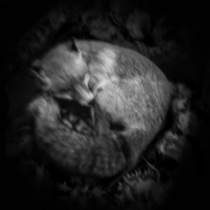 Fox. Hunting maze. The fox is subject to mass destruction all year round. Renard. Mussée de la chasse. Le renard fait l'objet de destruction massive toute l'année.